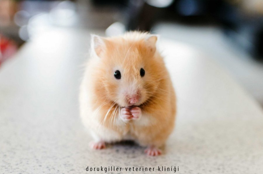 hamster veteriner kliniği