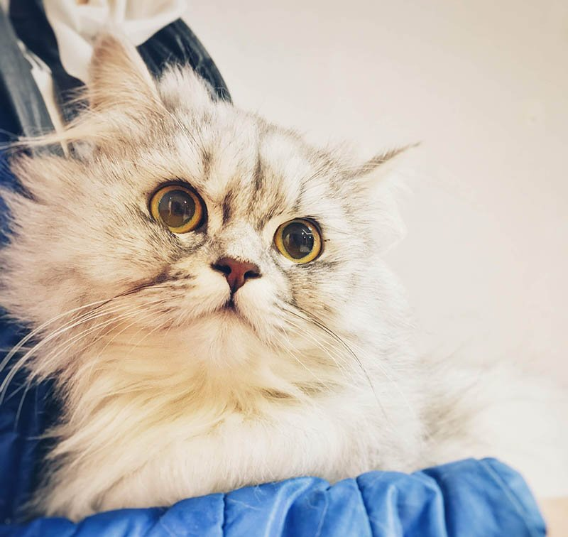 Kedi Diyafram Yırtığı